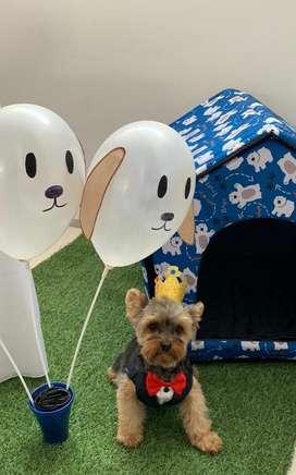 Servicio de monta- yorkshire terrier