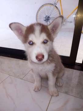 Lobo siberiano de 2 meses vacunados