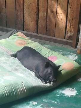 Mino pig de 1 año
