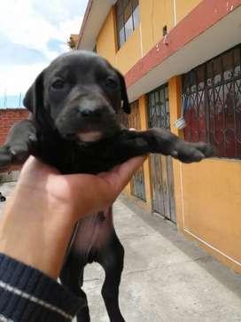 Se vende perros pitbull cachorros 2 meses