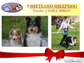 Shetland Sheepdog Pequeños y hermosos de ROYAL KENNEL!!