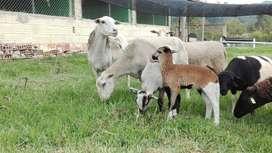 Ovejas. Ovinos. pie de cría lineas maternas mejoradas. Cundinamarca