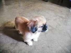 Vendo perro shih tzu 100%puro