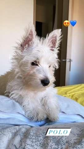 Vendo Westy west highland white terrier 1.800.000