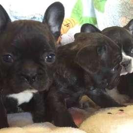 cachorros entrega inmediata de 57 dias bulldog frances gordos