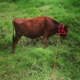 Vendo hermosa vacona Jersey roja edad 12 meses