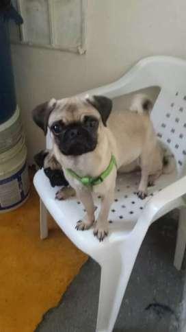 se vende perro pug de 6 meses