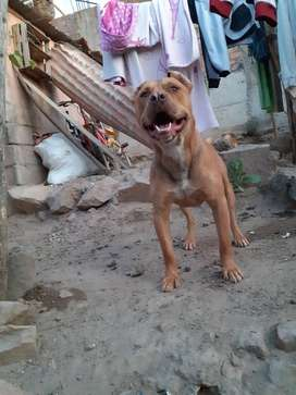 Se vende pitbull red nose