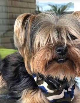 Yorkshire Terrier busca novia para monta