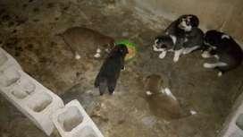 Venta cachorros Lobos siberianos