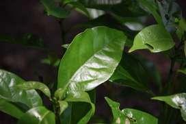 300 gr de hojas de alcanfor y ramas para Aromaterapia y Antibacterial