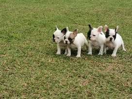 Bulldog Frances Hermosos