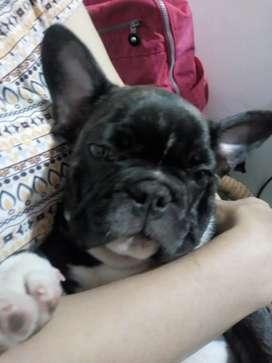 Bulldog francés de 8 meses