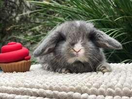 Conejos Enanos de Orejas Caidas Holland Lop