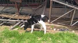 Terneros raza Holstein de días de nacido