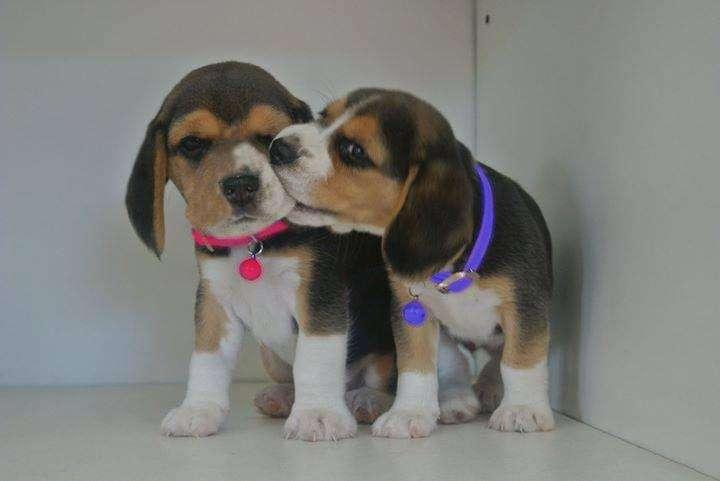 Beagle tricolor macho y hembra 0