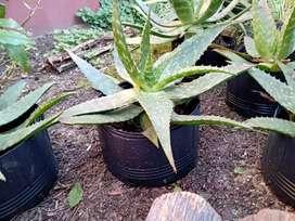 Planta de Áloe Vera