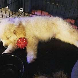 hermosos cachorros de 57 dias
