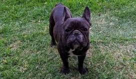 Bulldog Francés Hembra Negra Pedigree Fca. Hermosa !!