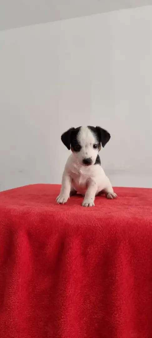 Filippo jack russel terrier