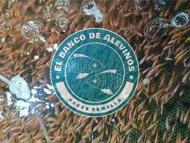 Alevinos de Tilapia Roja (Mojarra), Bagre, Bocachico y Cachama Roja | Envios nacionales - Alevines semilla peces engorde