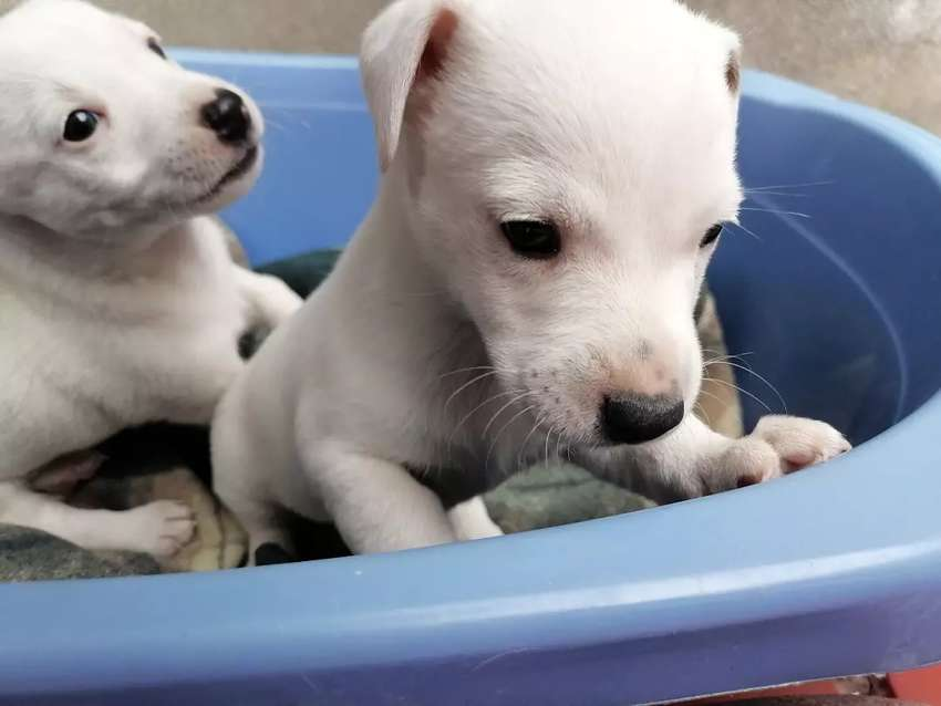 Cachorros jack russell terrier 0