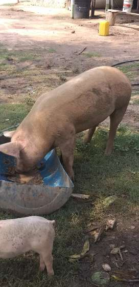 Vendo cerdo reproductor