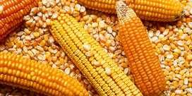 Venta de MAÍZ CRIOLLO limpio y SECO + HARINAde Maiz