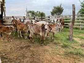 Venta de ganados gyr brasileño puro y comercial: terneros, terneras, novillas, vacas y toretes.