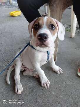 Se vende cachorro pitbull con beagle