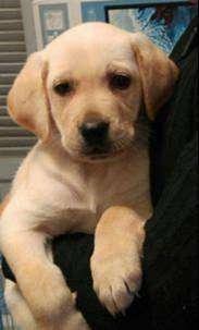 Raza labrador dorado puros de veterinaria excelente con gran experiencia