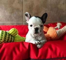 perritos hermosos bulldog frances estándar con características idóneas