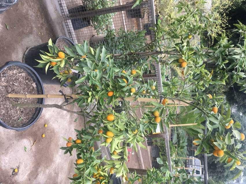 venta de arboles frutales en peru 0