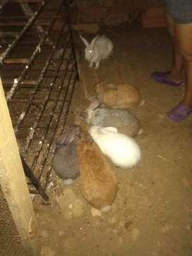 Vendo conejos machos