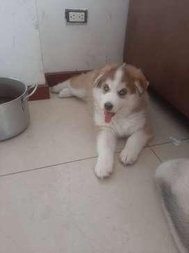 Cachorros de husky siberiano excelente genetica 100% pura raza