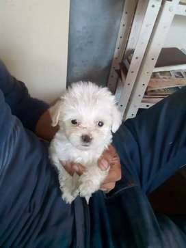Frech poodler tacita macho