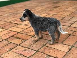 Pastor Ganadero Australiano cachorros machos