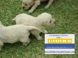 VENTA CACHORRITOS HERMOSOS GOLDEN RETRIEVER ORO