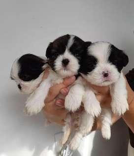 Hermosos cachorros SHIZUT