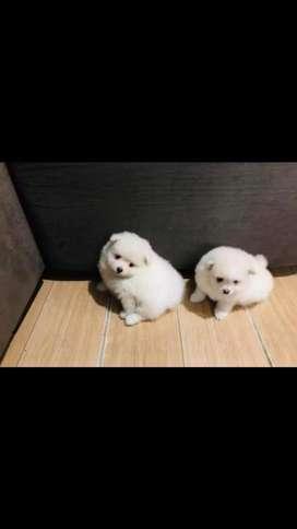 Pomeranias Lulu Varios Colore Disponible