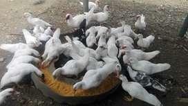 Vendo patos criollos doble pechuga