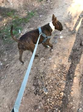 Bull terrier atigrado para servicio de monta