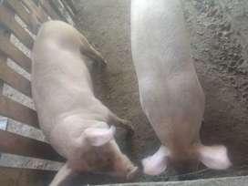 cerdos desde 50 Kg. cruce Landrace-Yorkshire