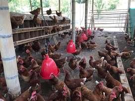 Venta de huevos de patio gallina feliz
