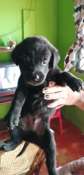 Se vende cachorro labrador cruse con rotwailer