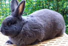 Vendo Coneja azul de Viena