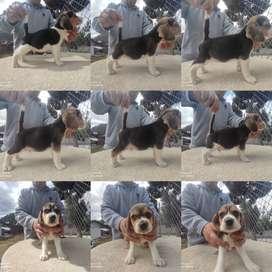 Beagles vende Criadero AnsoldeCotopaxi