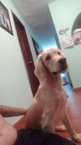Perro  cocker busca novia