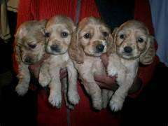 cocker spaniel disponibles