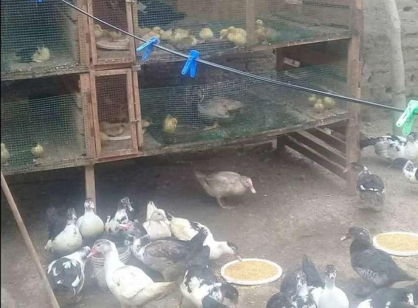 Venta de Patos criollos de corral 0